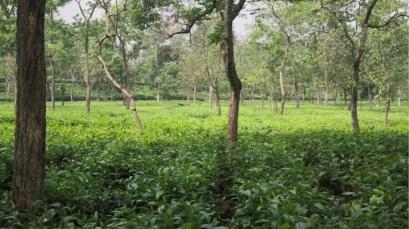 Tea Garden 1 copy