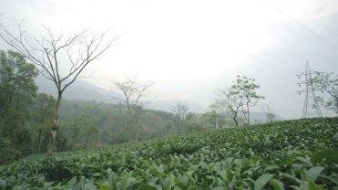 Tea Garden 2 copy