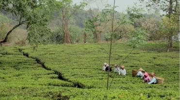 Tea garden women workers copy